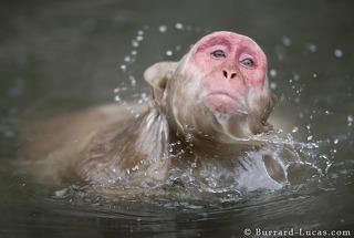 Swimming Macaque